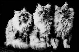 Three silver Persian cats