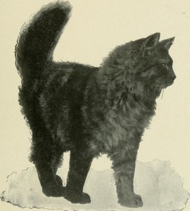 Black Angora cat