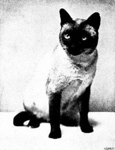 Portrait of Persian cat