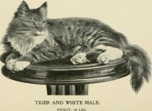 "striped angora cat on a pedestal with caption ""Tiger and white male, weight 16 lbs."""