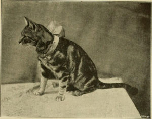 tabby cat with a bow around its neck, sitting on a table