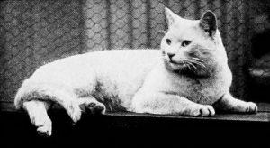white short-haired cat