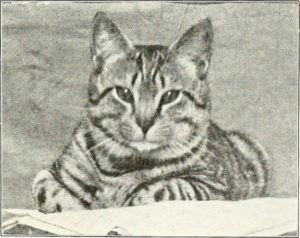head and upper torso of a striped shorthair cat looking at viewer