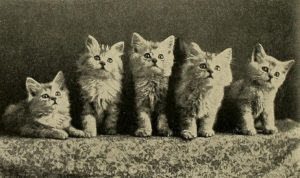 black and white photo of five long haired kittens