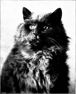 close up black & white photo of a blue Persian cat