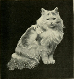 black and white photo of white Angora cat with buff spots