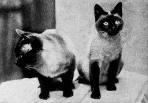 black and white photo of two Siamese cats, one looking directly at camera, one looking to the side