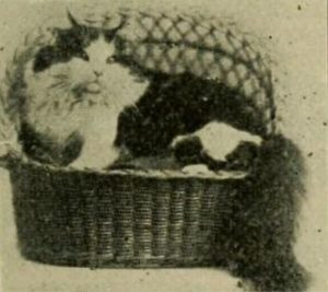 black and white photo of a black and white Angora cat sitting in a half-closed basket