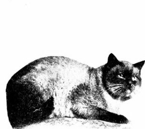 black & white photo of siamese cat lying down and looking at camera