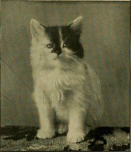 black and white photo of a kitten with a distinctive black patch on its face