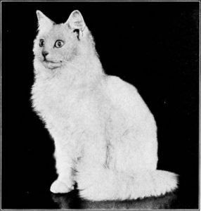black and white photo of a long-haired white cat with a startled look