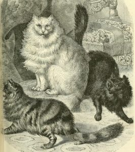 old time drawing of three angora cats, one white, one black, and one striped